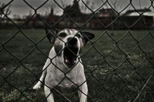 barking dog behind chain link fence